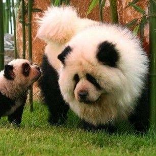 This Is A Fake Dog Panda Panda Dog Panda Chow Chow Cute Animals