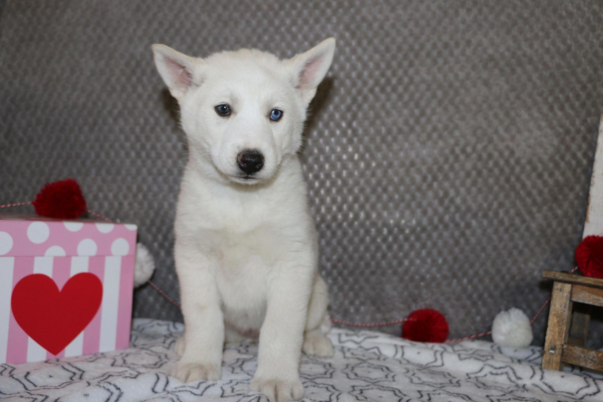 Snowy A Smart Female Akc Siberian Husky Puppy For Sale In Indiana Find Cute Siberian Husky Puppies And Res Husky Puppies For Sale Husky Puppy Siberian Husky