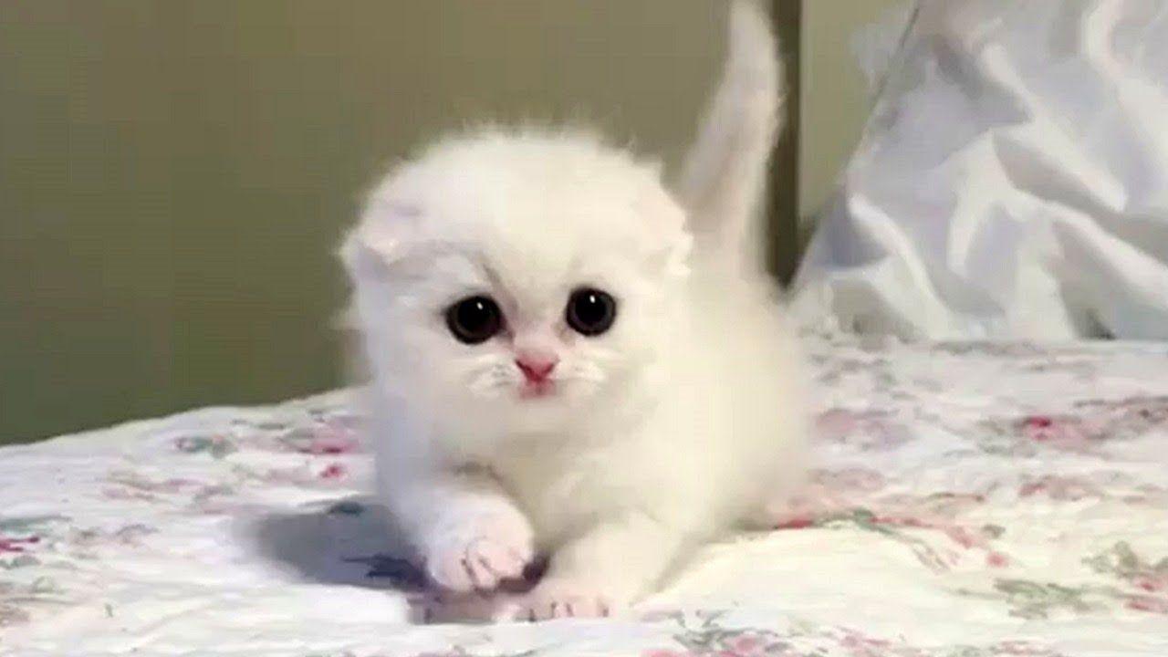 This Snowball Munchkin Kitten Is A Bundle Of Fluffy Cuteness Youtube In 2020 Munchkin Kitten Kittens Cutest Cute Kitten Gif