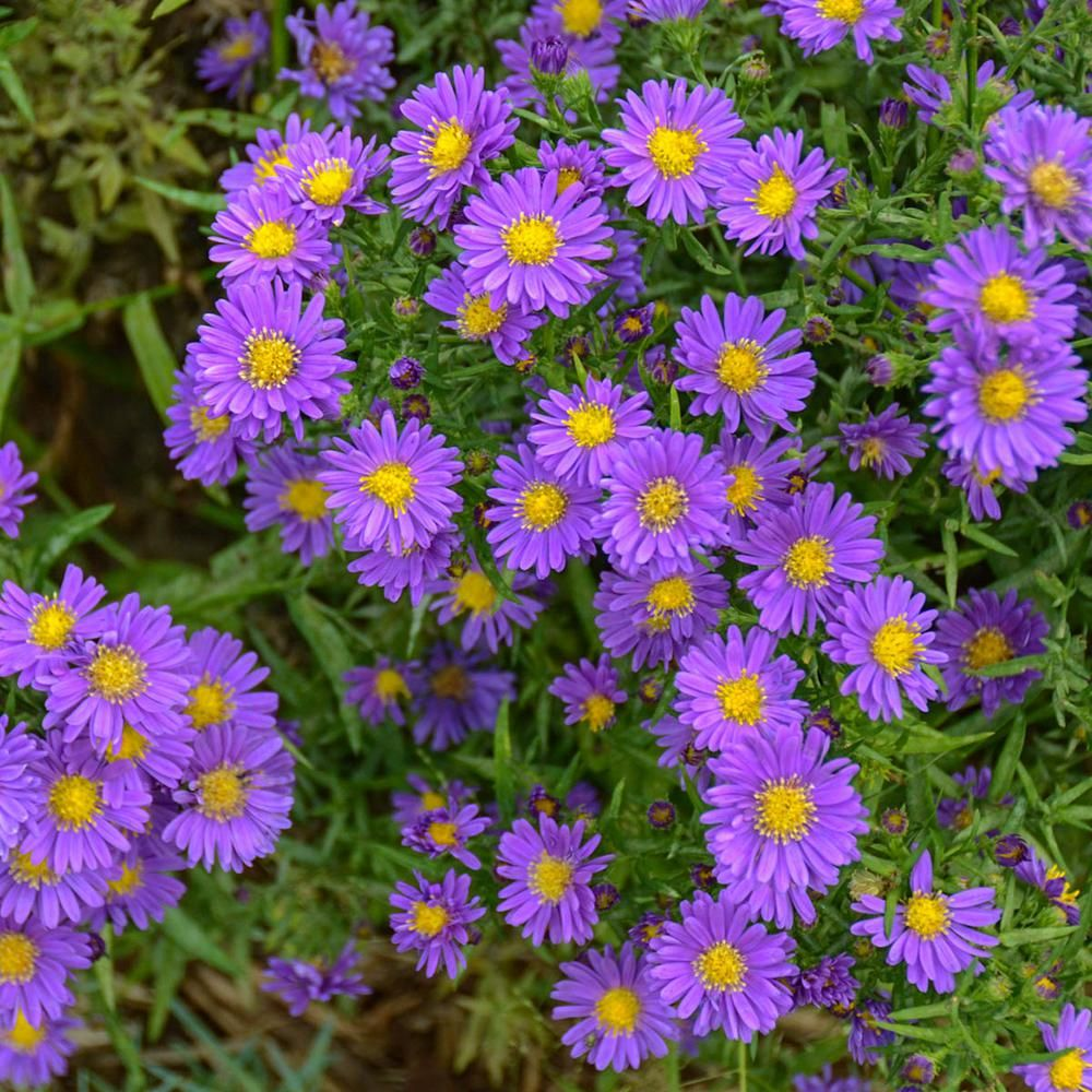 Spring Hill Nurseries 2 In Pot Lilac Blue Kickin Aster Live Deciduous Plant Purple And Blue Flowering Perennial 1 Pack 60813 The Home Depot Flower Garden Plans Spring Hill Nursery Perennials