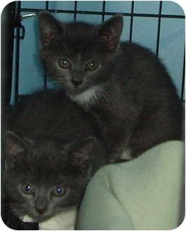 Westfield Ma Domestic Shorthair Meet 2 Gray And White Kittens A Kitten For Adoption Http Www Adopta With Images Kitten Adoption Grey And White Kitten White Kittens