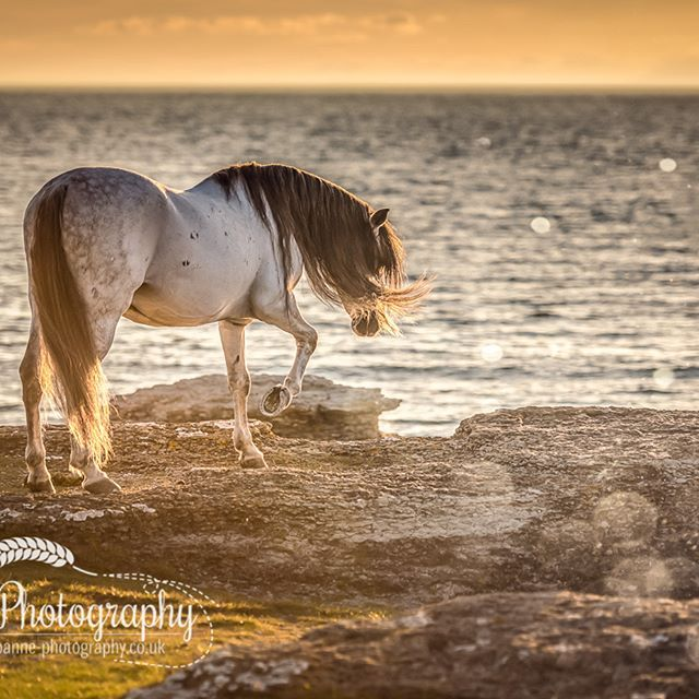 """Mythical Horse"" Öland, Sweden. Gray Stallion "" Deker Zar"", owner: Carolina & Heléne Borgryd. #horsesofinstagram #cheval #horses_of_instagram #instahorse #horselove #horsephotography #equinephotographer #cheval # Pferde #femalephotographer #naturelover #naturallight #passionforhorses #bestofequines #youandyourhorse #stockportphotographer#horsephotog #mynikonlife #equeatriansofinstagram #equinephotographer #equinephotography #bokeh #equestrian #fineartphotography"