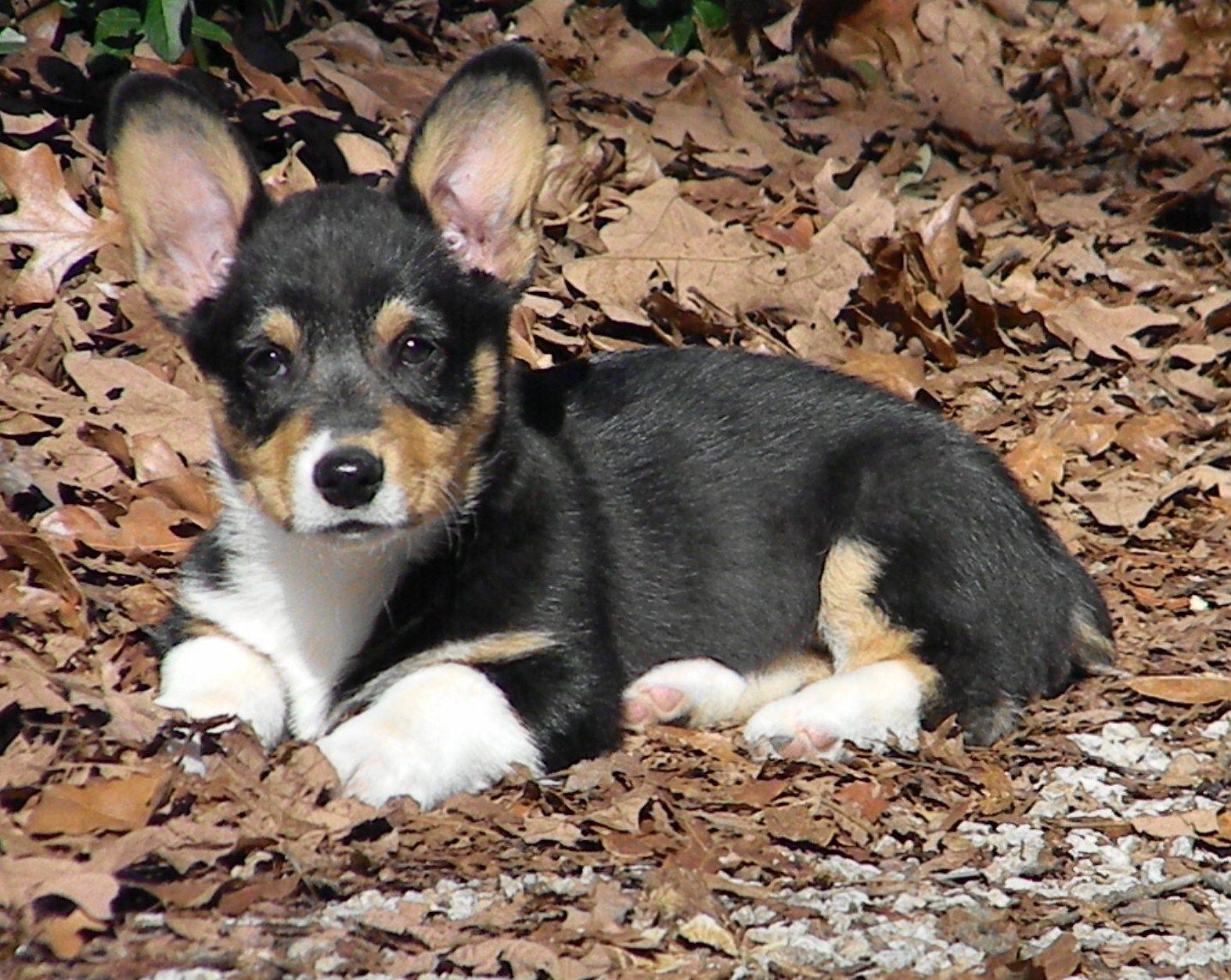 Corgi almost months pets pinterest dog and animal