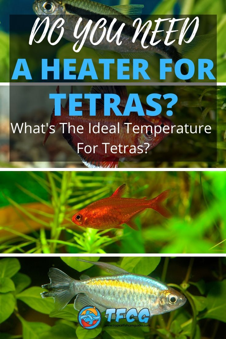 Do Tetra Fish Need A Heater The Ideal Temperature For Tetras Tfcg Tetra Fish Tetra Aquarium Heater