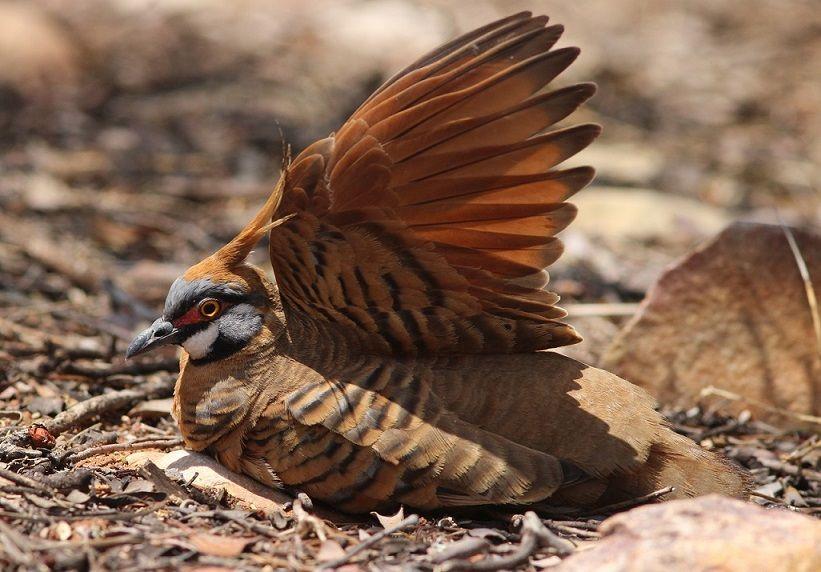 Spinifex Pigeon (Geophaps plumifera)