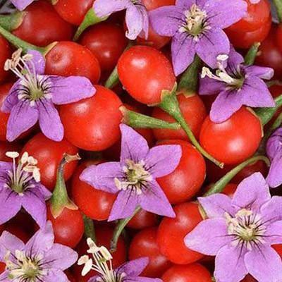 Goji Berry Firecracker Berry Bushes Goji Berries Fruit Plants