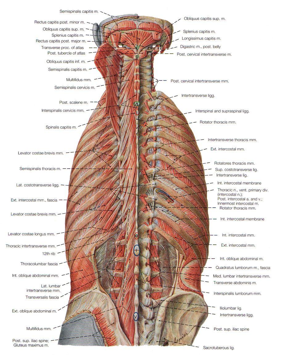 Deep Muscles Of Back   muscular anatomy   Pinterest   Muscles