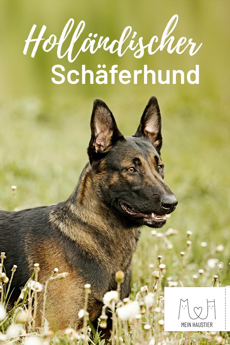 Portrait Des Arbeitsfreudigen Hundes Hunde Rassen Hunderassen Hollandischer Schaferhund
