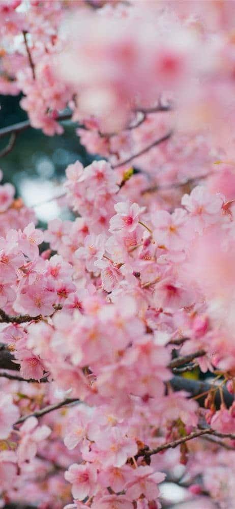 خلفيات ورد للايفون Cherry Blossom Wallpaper Pink Spring Flowers Flower Background Wallpaper