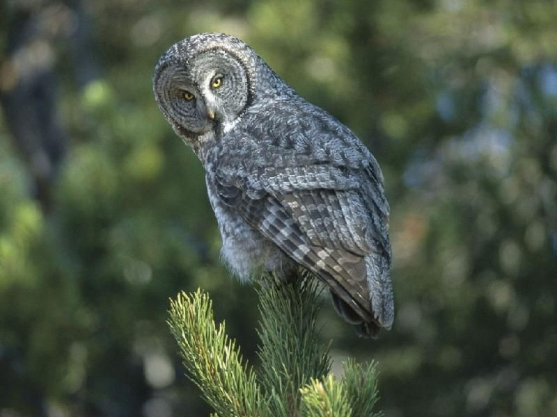 pictures of wild animals of the world and africa | Great Grey Owl