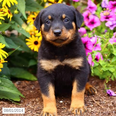 Rottweiler Puppy For Sale In Pennsylvania Rottweiler Puppies