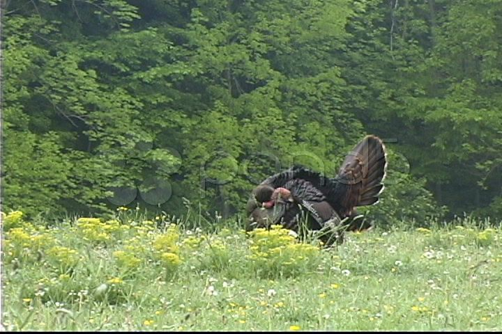 wild turkey gobbleing - Stock Footage | by mlo3135127