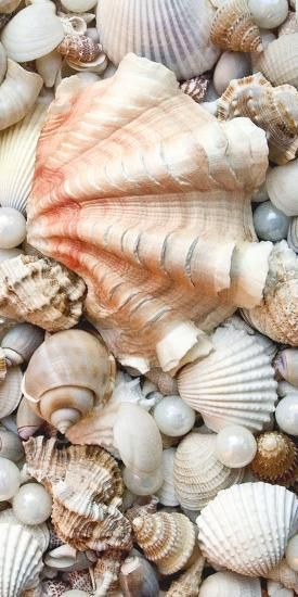 Photographic Print: Shell Menagerie I by Rachel Perry : 24x12in