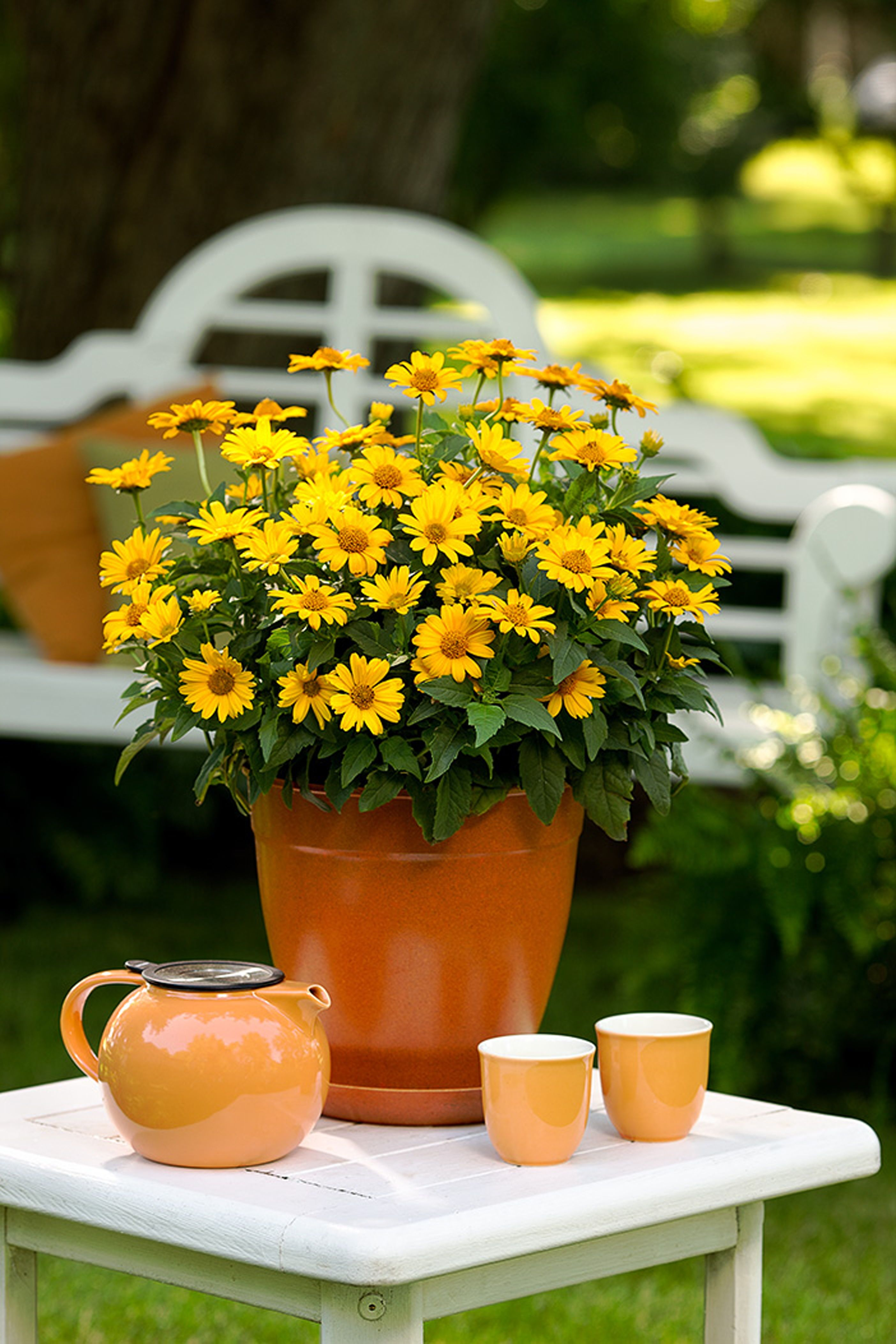 Tuscan Sun Perennial Sunflower Heliopsis Helianthoides