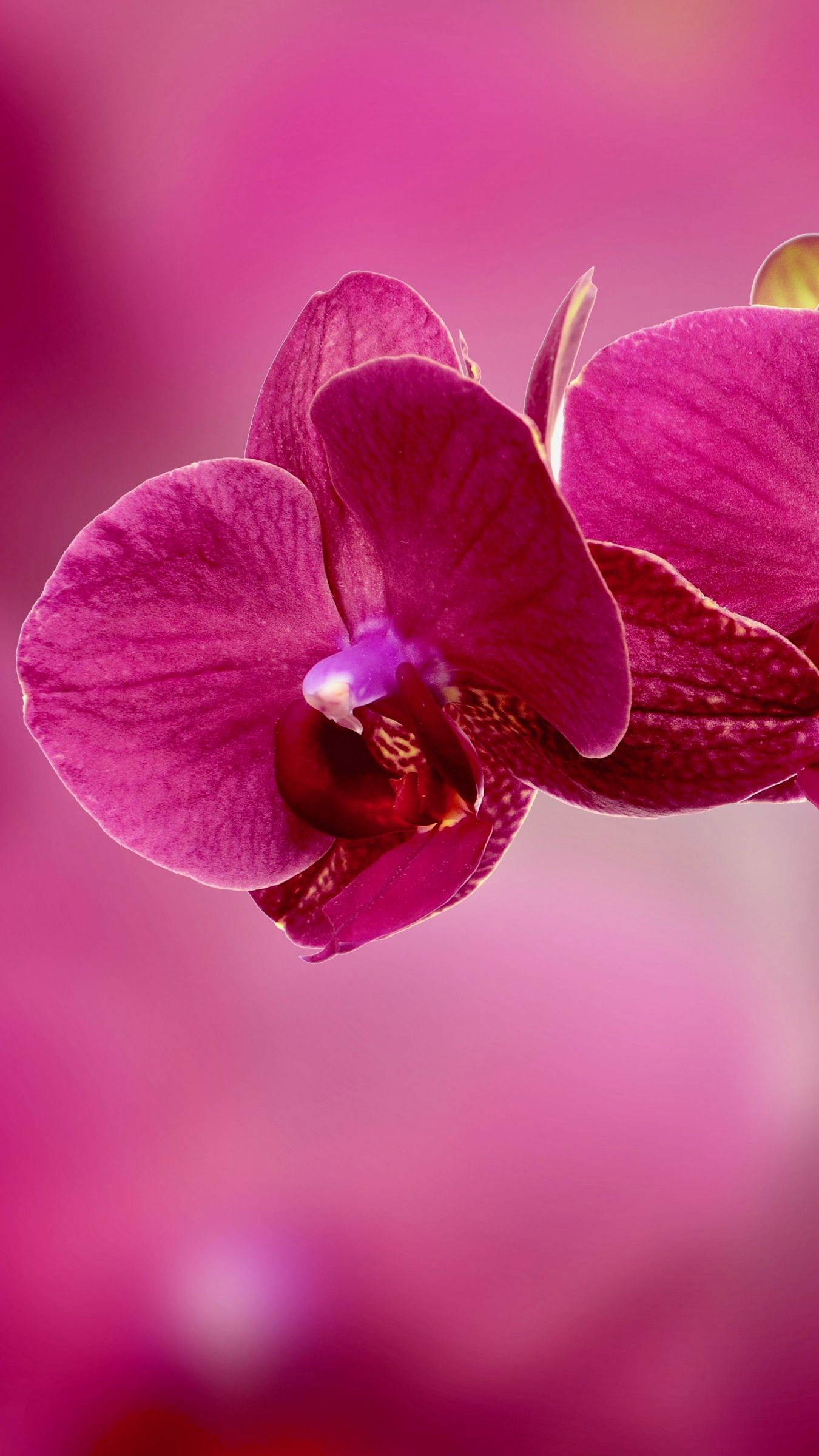 Orchid Flower Petals Pink Wallpaper Background Iphone
