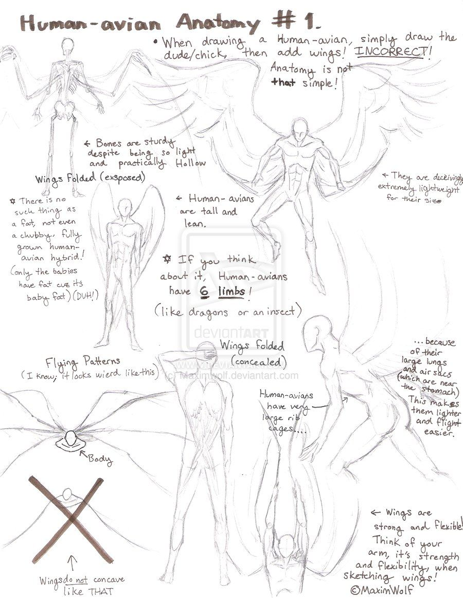 Huamn-Avian Anatomy No.1 by Maximwolf.deviantart.com on @deviantART ...