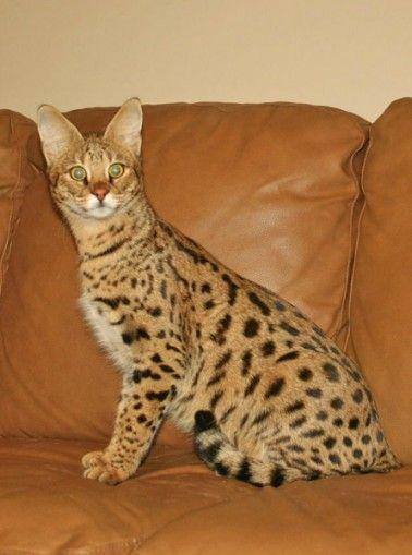 Jolly F1 Savannah Savannahcats Exoticcats Cats Savannah Cat