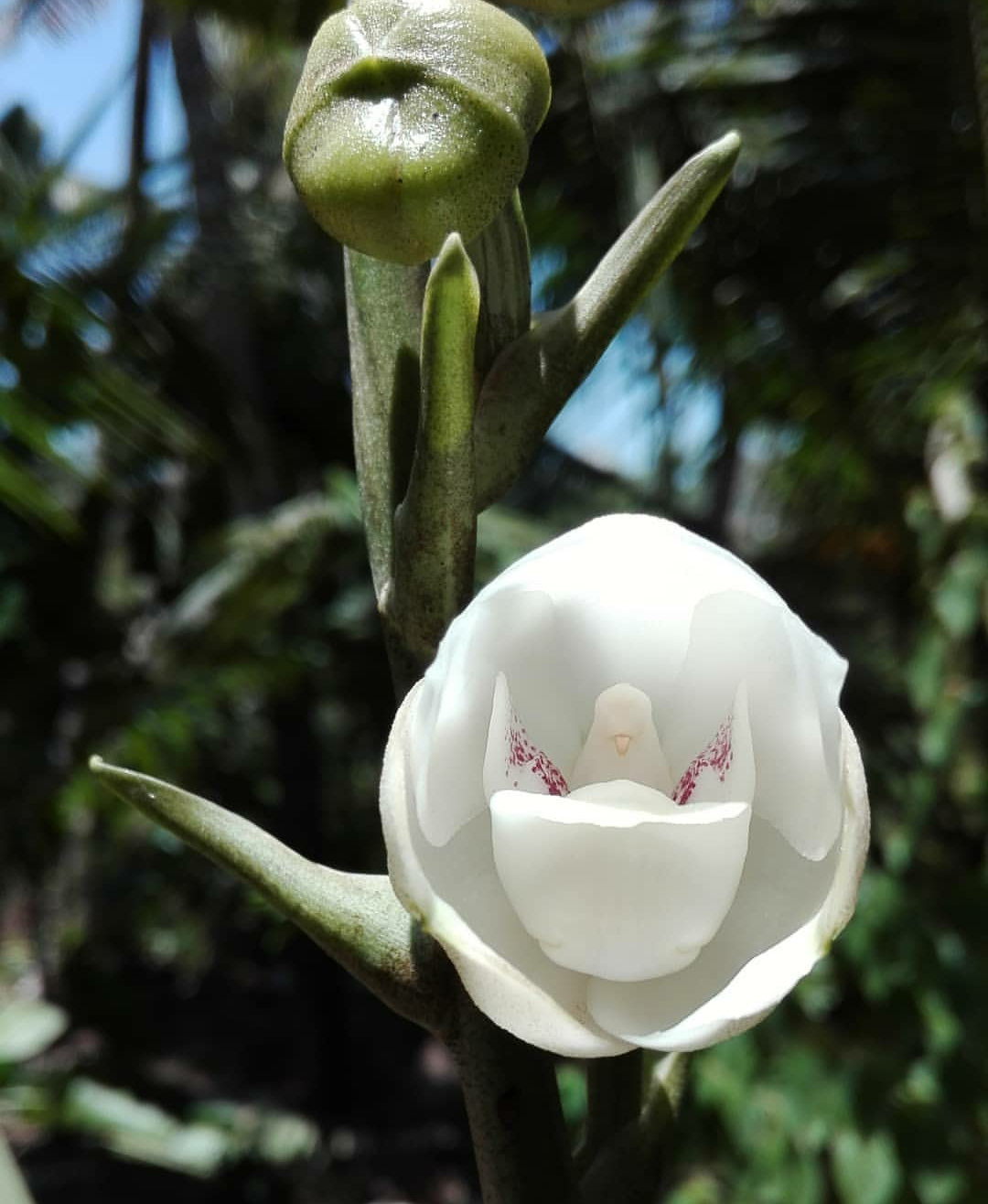 My garden yesterday was blessed with dove orchid peristeria