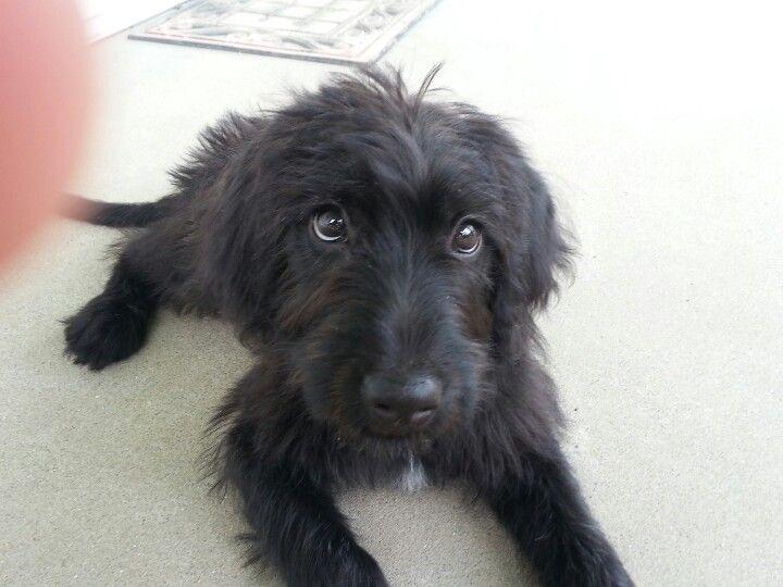 My Adopted Black Labradoodle Sophie Black Labradoodle