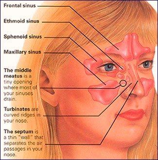 Nose, Sinuses and Smell | anatomy-medicine.com | Pinterest ...