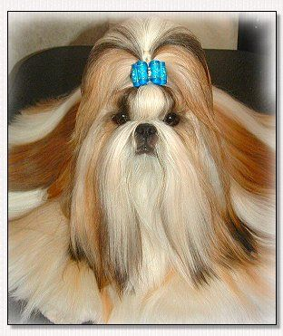 Shih Tzu Bis Am Int Ch Mr Foo S Luck Of The Draw Jack Dog