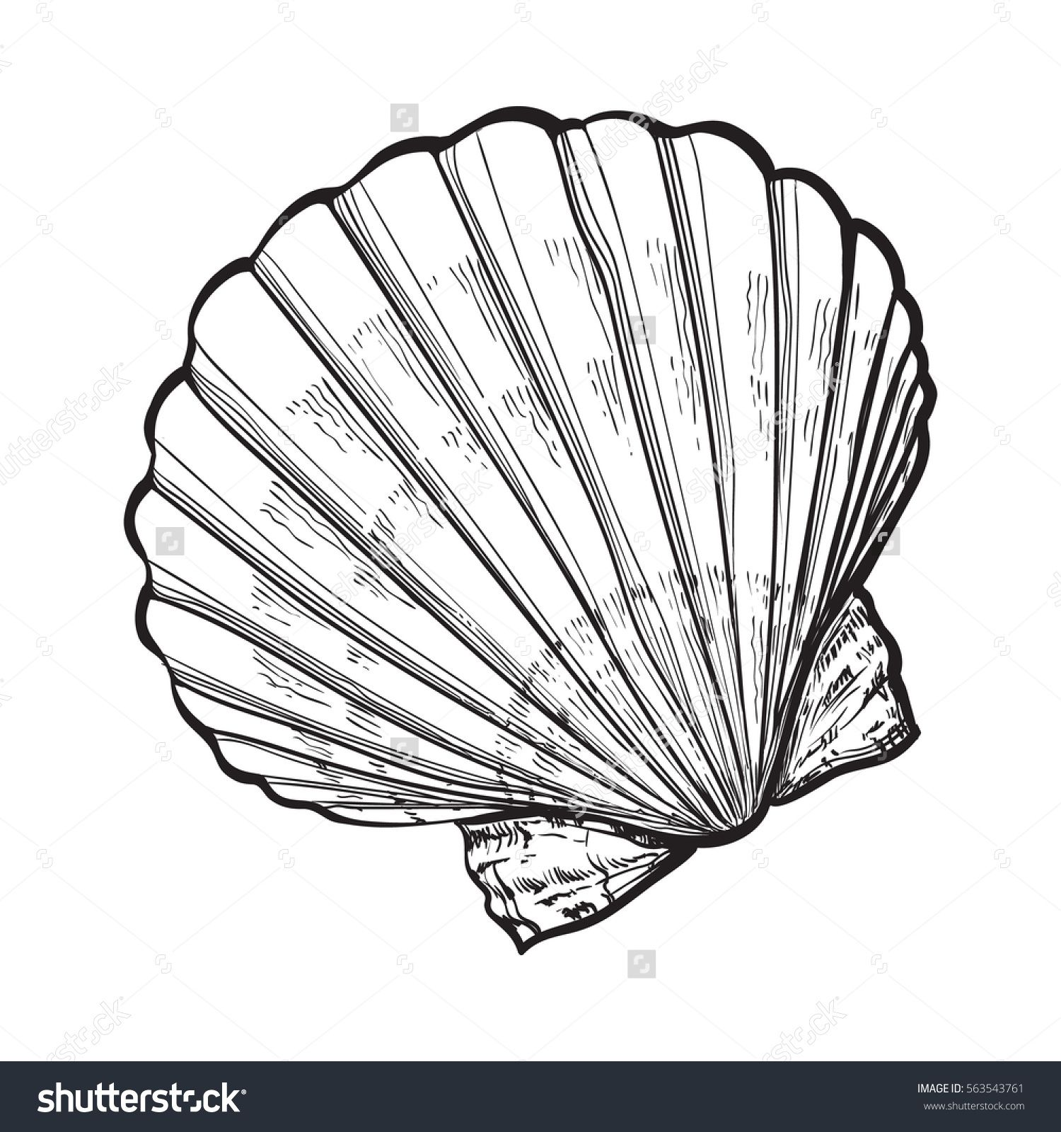 scallop sea shell, sketch style vector illustration ...