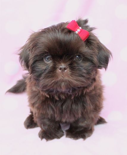Chocolate Shih Tzu Puppy by TeaCupsPuppies.com