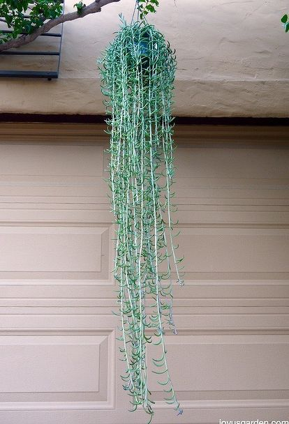 Fishhooks Senecio This Trailing Succulent Is So Easy To Grow Hanging Succulents Easy Care Plants Hanging Plants