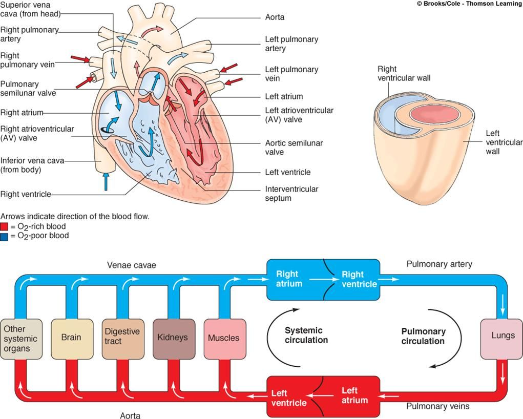 blood flow through the heart 1. superior/inferior vena cava and