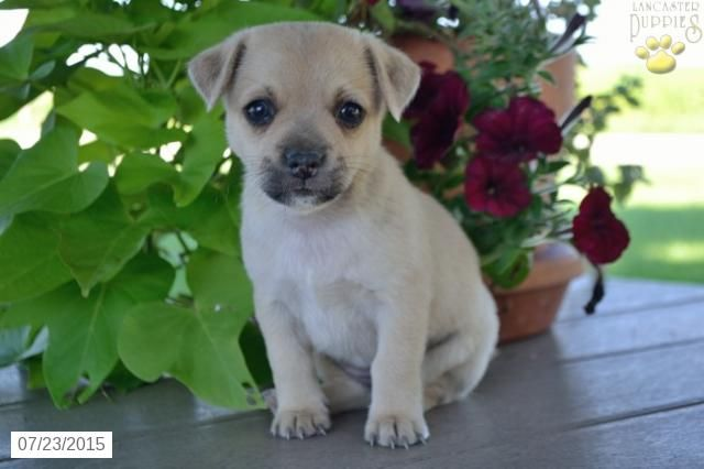 Chihuahua Mix Puppy For Sale In Ohio Buckeyepuppies Chihuahua