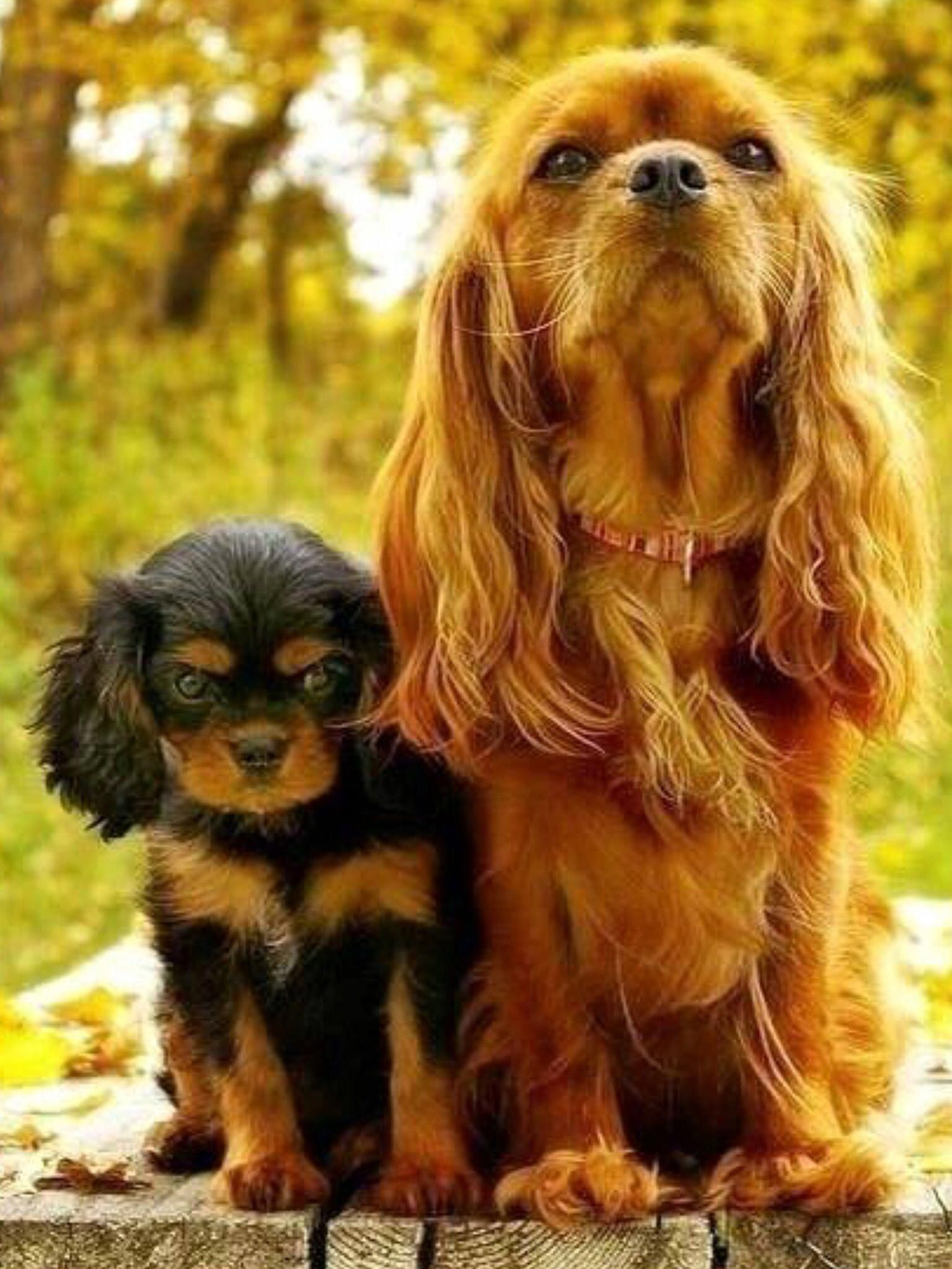 Cavalier King Charles Spaniel Graceful And Affectionate In 2020