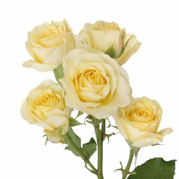 Pale Yellow Wholesale Spray Roses Fiftyflowers Spray Roses Yellow Wedding Flowers Yellow Roses