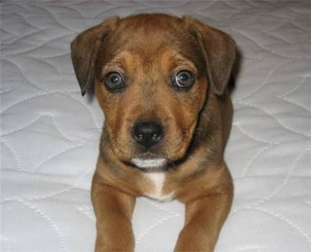 Bullmastiff And Rottweiler Mix Puppy With Images Rottweiler