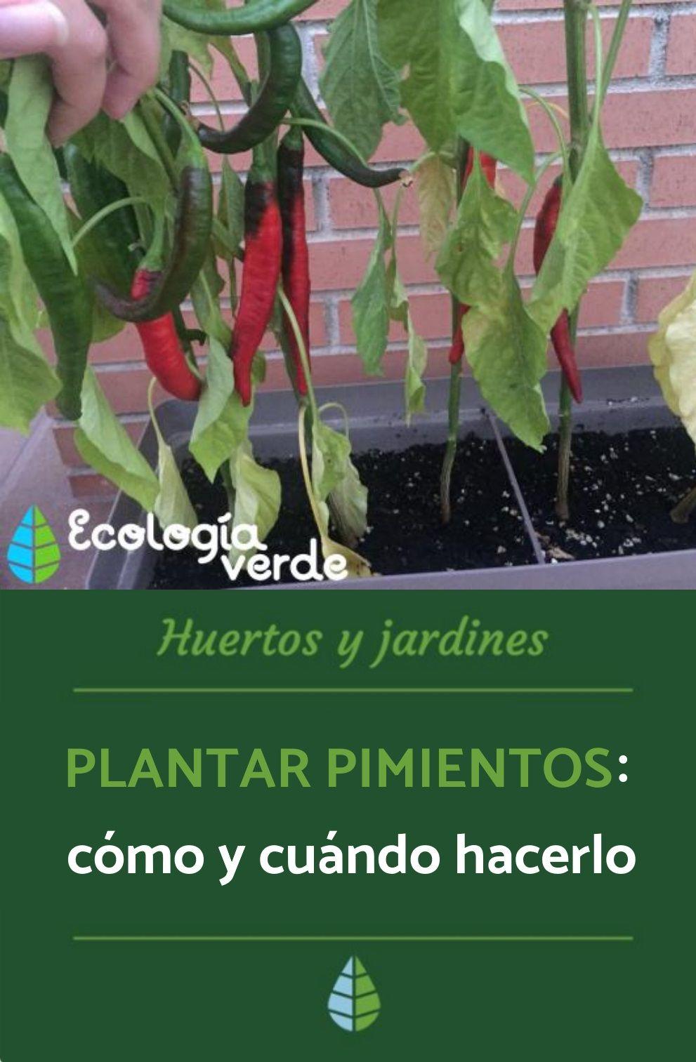 Cómo Plantar Pimientos Paso A Paso Guía Práctica Plantar Pimientos Cultivo De Hortalizas Cultivo De Plantas