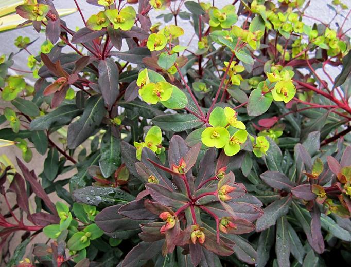 Euphorbia amygdaloides 'Ruby Glow' (Wood Spurge)