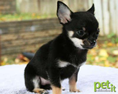 Chuahuas Beautiful Black Tri Smooth Coat Apple Head Chihuahua