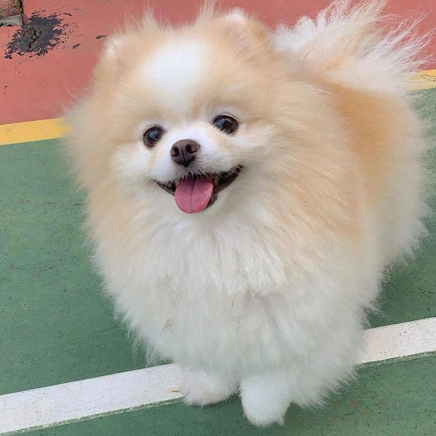 Pomeranian Bold And Inquisitive Boo The Dog Dogs Puppies