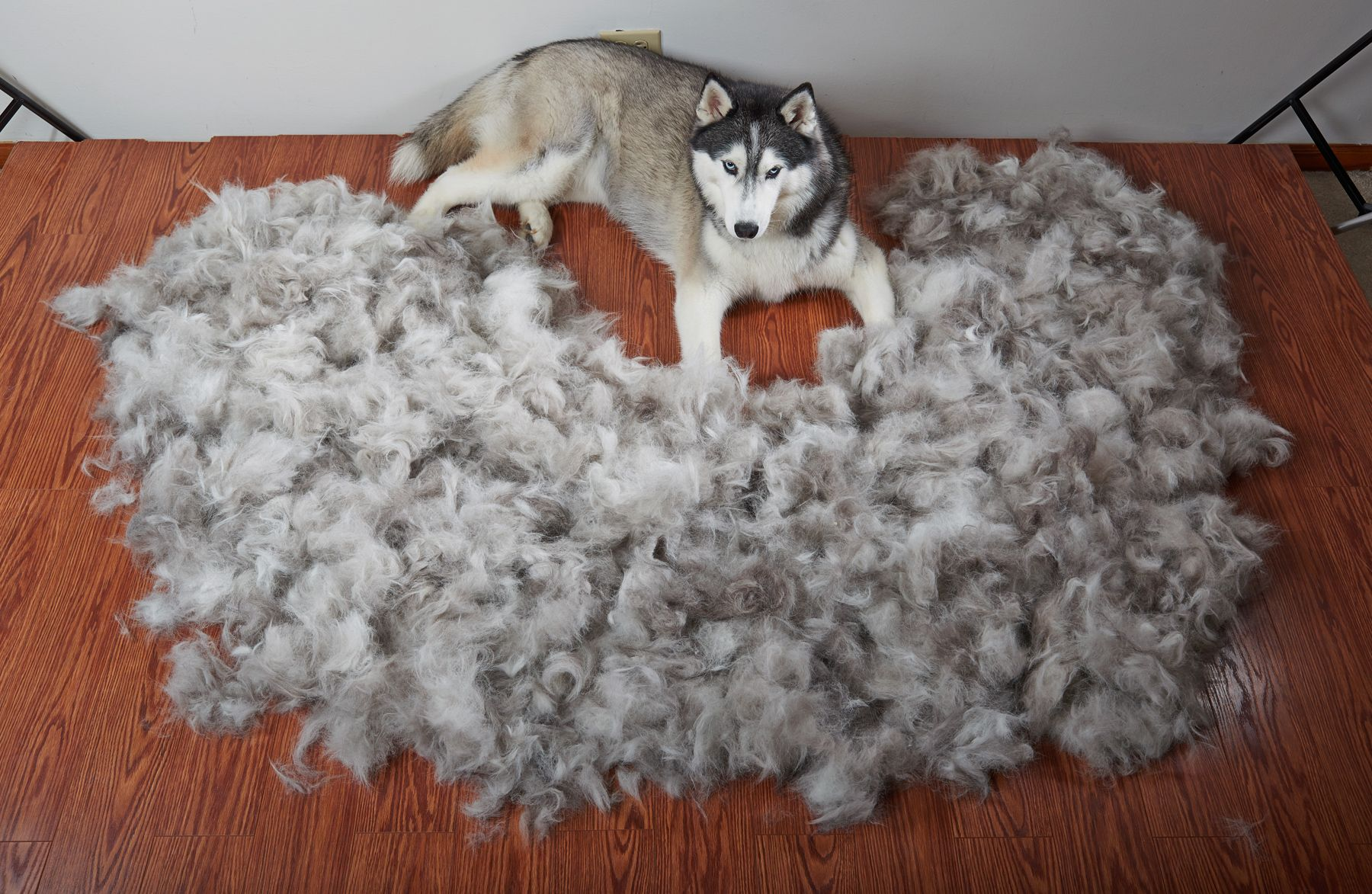 Ever Wonder How Much A Siberian Husky Sheds During The Spring