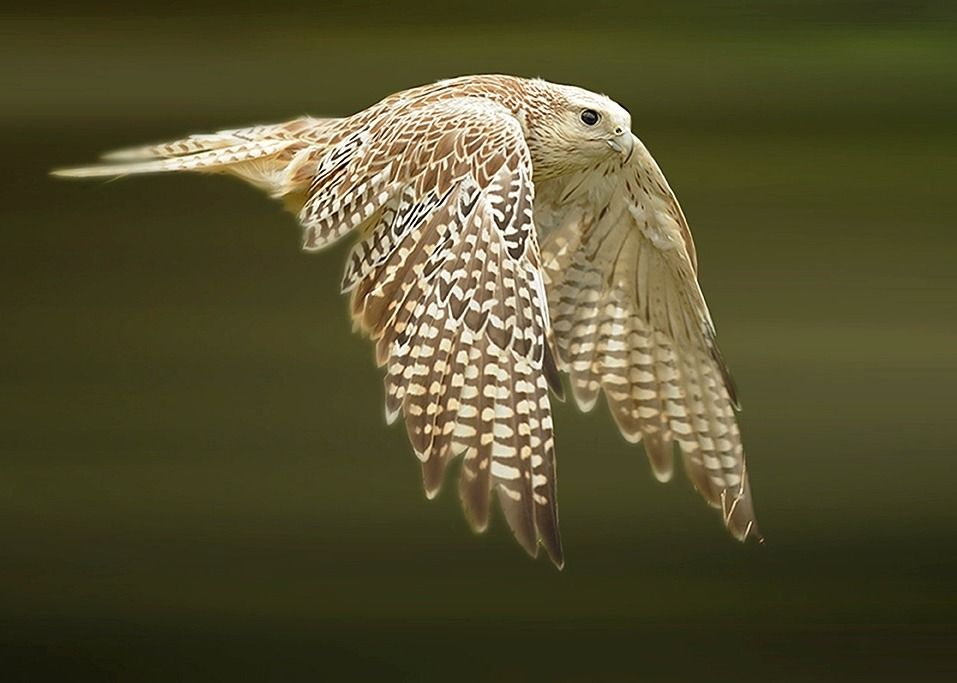 """beautiful-wildlife: """" White Falcon by Ronald Coulter ..."""