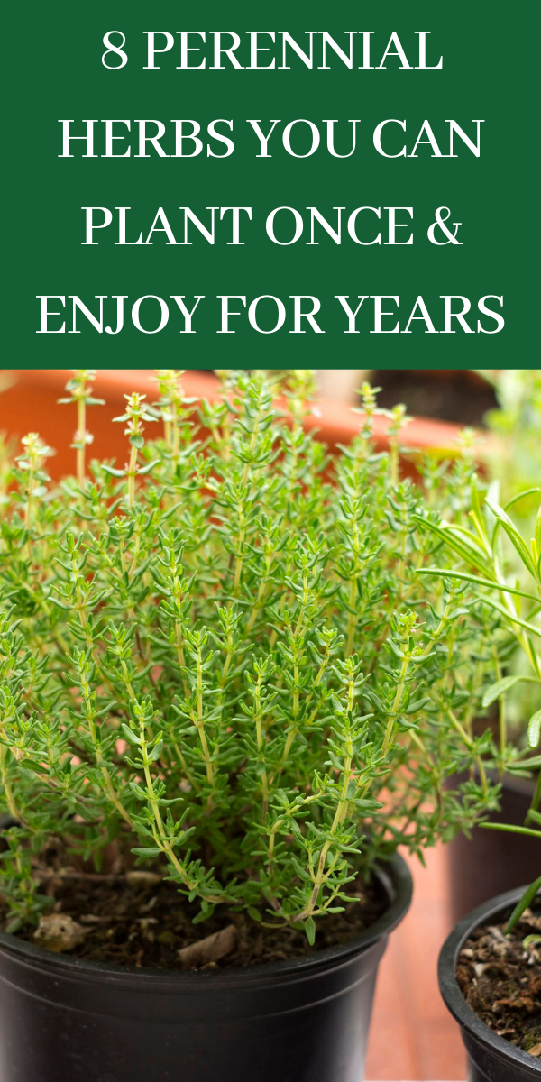 8 Perennial Herbs You Can Plant Once Enjoy For Years Gardening Sun In 2020 Healthy Garden Perennial Herbs Growing Vegetables