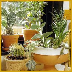 Südfenster, Zimmerpflanzen, geeignete Pflanzen. Das Südfenster ist ...