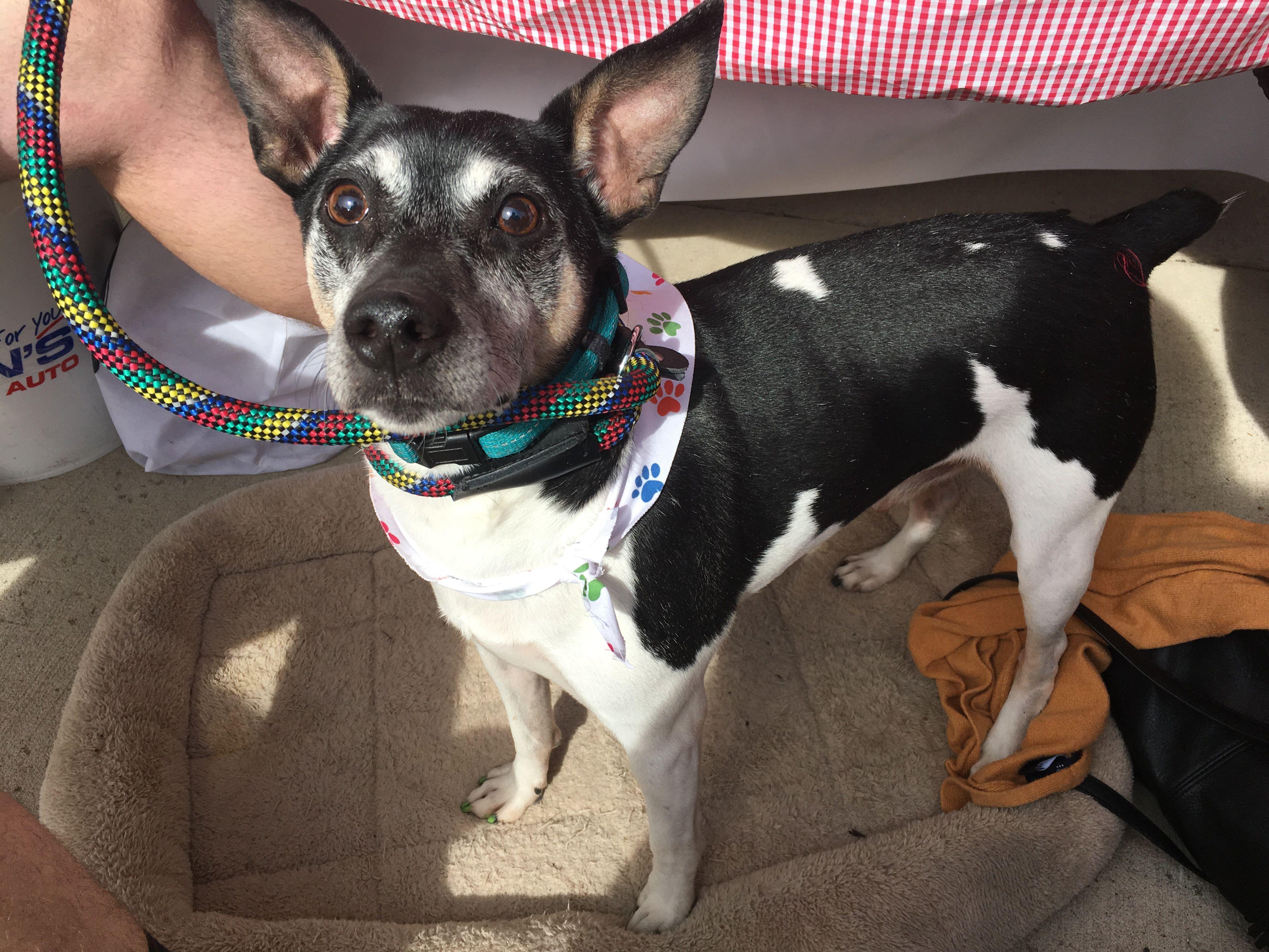Rat Terrier Dog For Adoption In Cedar Rapids Ia Adn 521148 On Puppyfinder Com Gender Male Age Adult Rat Terrier Dogs Rat Terriers Dogs