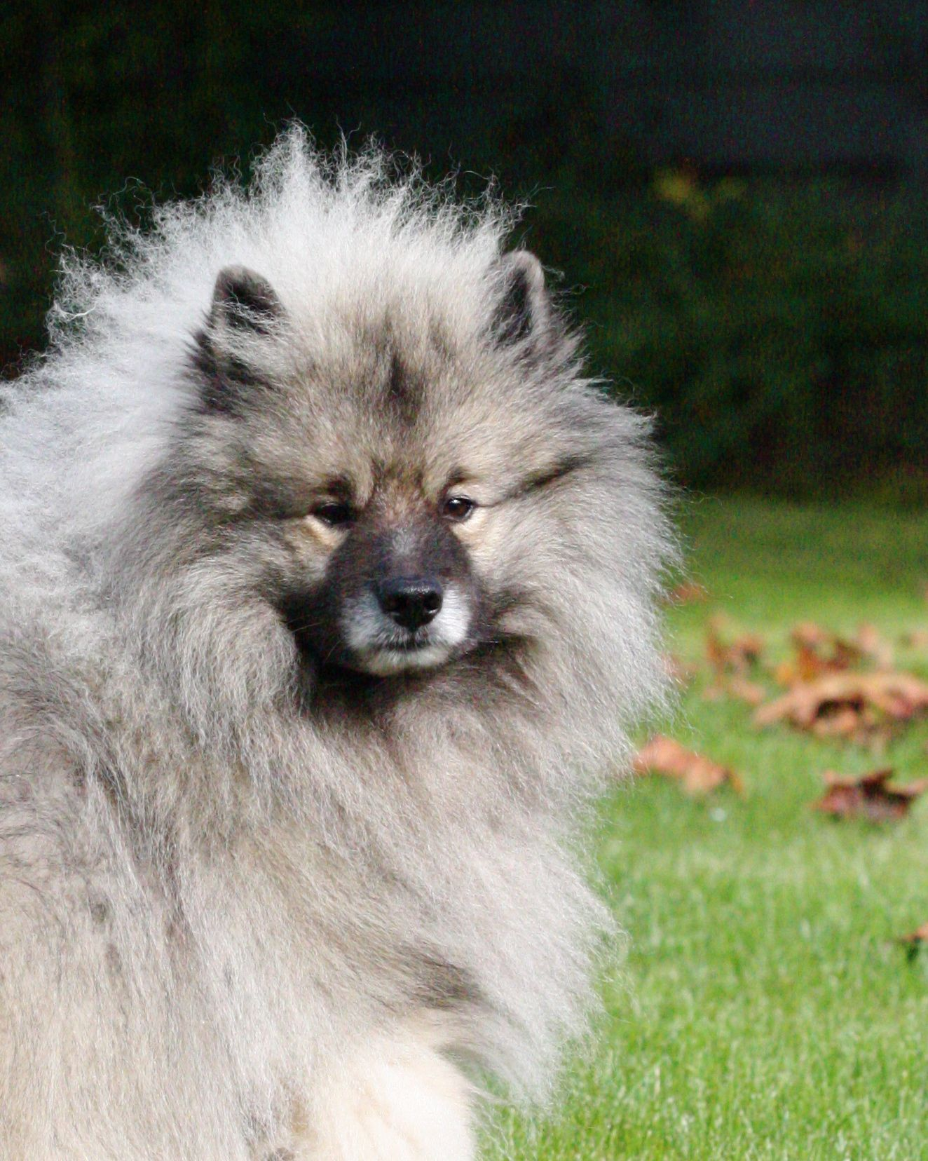 Handsome me! ( Keeshond ) Keeshond, Dogs and puppies