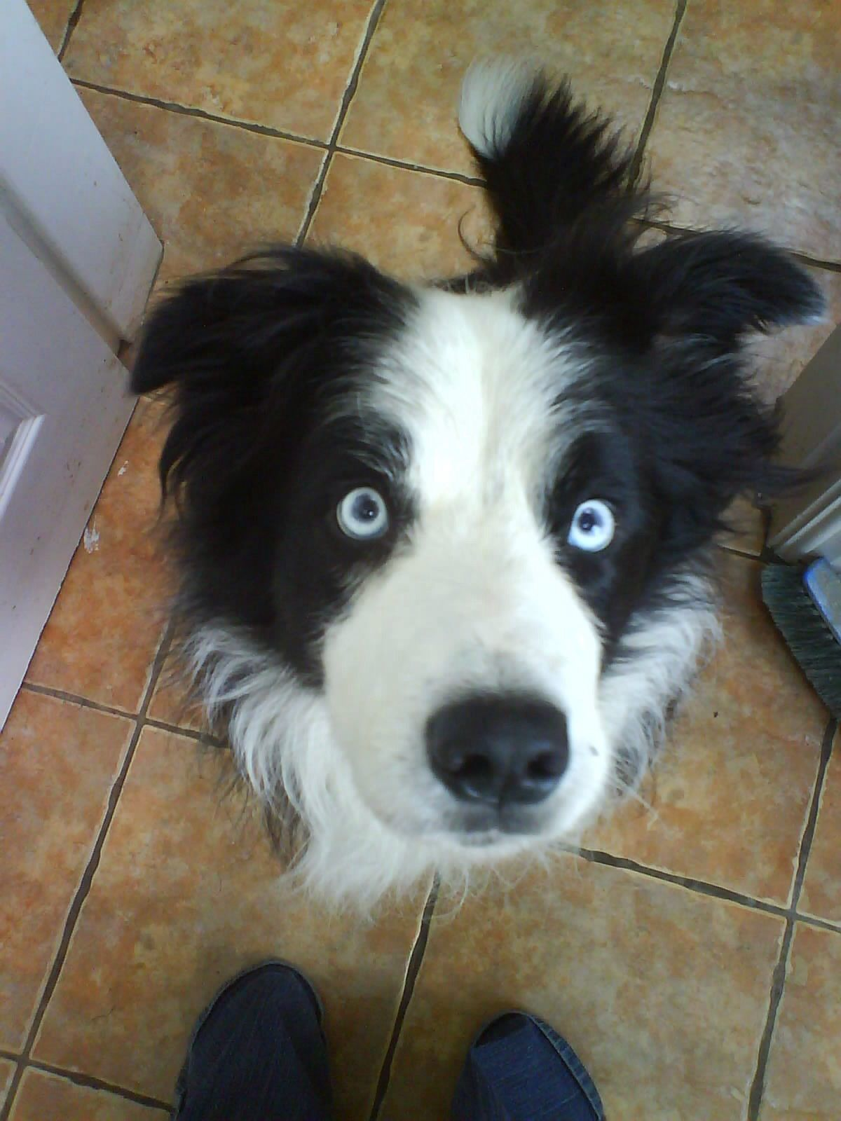 Jess 1 In 100 Blue Eyed Solid Black White Border Collie White
