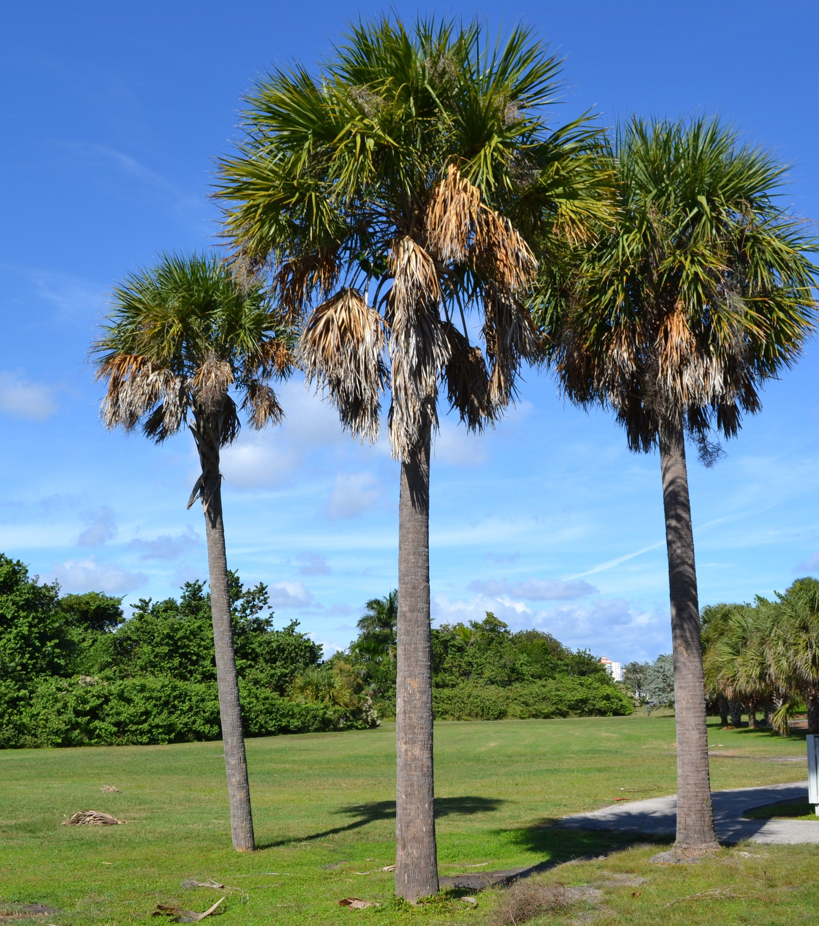 Sabal Palm South Florida Trees Florida Trees Tree Garden Arch