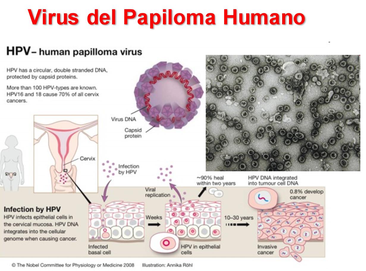 virus del papiloma microbiologia)