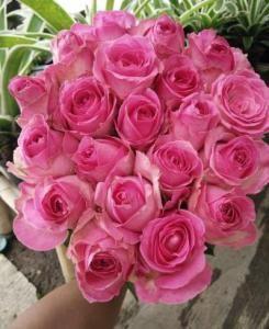 Macam Macam Warna Pink : macam, warna, Macam-Macam, Warna, Bunga, Mawar, Holland, Bunga,, Mawar,