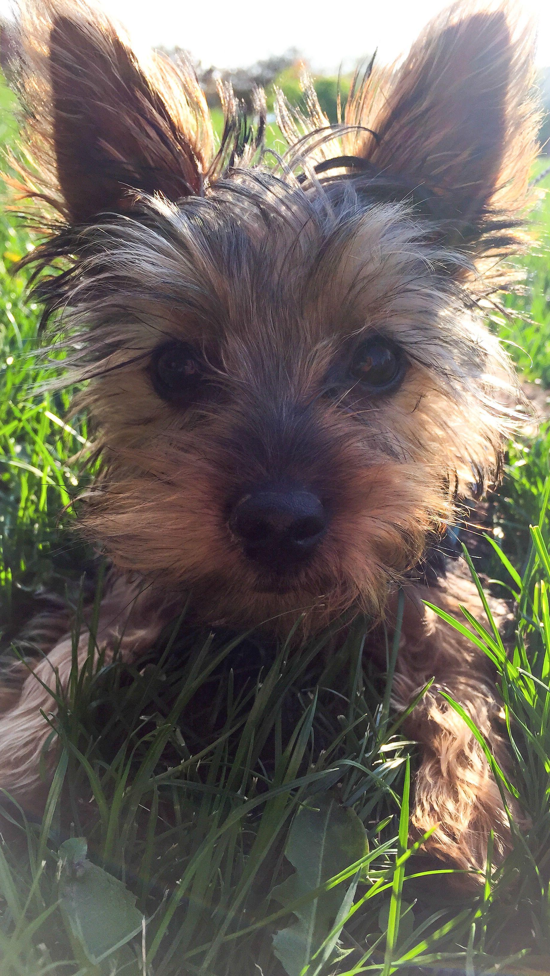 Oliver Yorkshire Terrier Yorkshire Terrier Terrier Yorkie Dogs