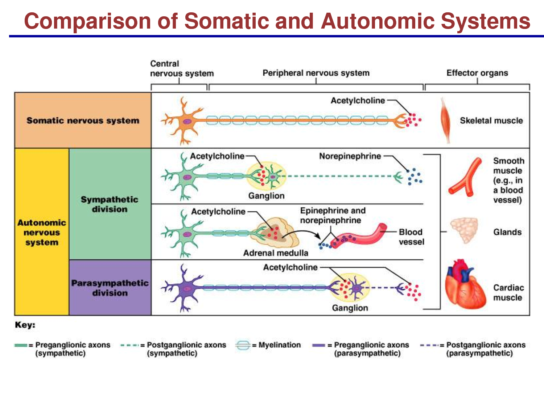 autonomic nervous system receptors - Google Search | Pharmacology ...