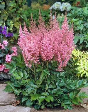 False Spirea Astilbe Chinensis Vision In Pink From Growing Colors Shade Plants Shade Flowers Flowers Perennials